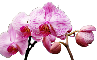 Orchid stock png by DoloresMinette