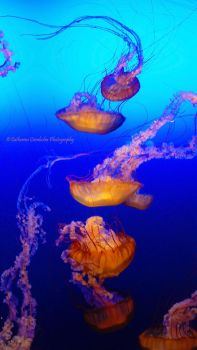 A Line of Jellyfish by step-after-step