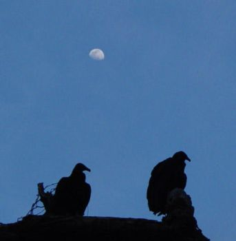 Vultures and the Moon by hazelhaze