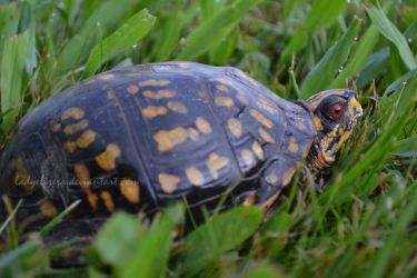 Mr. Box Turtle by LadyElisera