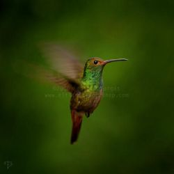 Colibri by Elfland