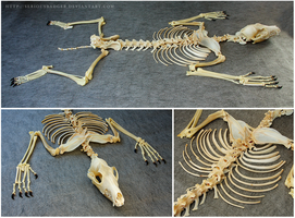 Coyote skeleton by seriousbadger