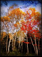 Bouquet of birch trees  2 by surrealistic-gloom