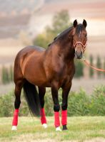 Stock Horse 17 by stock-provider