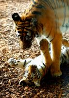 tigerbaby playing with mum by miezbiez