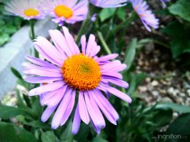 Spring Flower 2012 - 68 by Ingnition