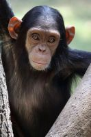 Young Chimp by Yair-Leibovich