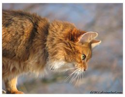 Somali cat I by LS0901