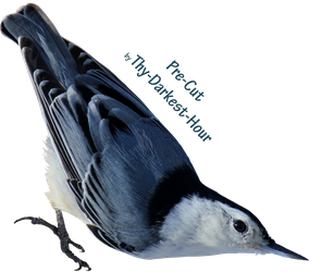 White Breasted Nuthatch PNG by Thy-Darkest-Hour