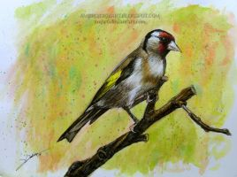 European Goldfinch by AmBr0