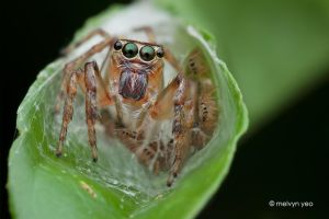 Mother Jumping spider with Babies by melvynyeo