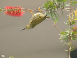 Streaked Spiderhunter by jitspics