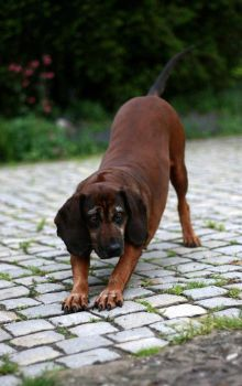 The Bavarian Mountain Hound by panczyk
