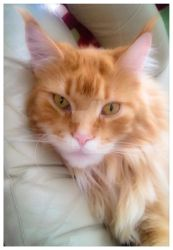 Love my Maine coon by Soleildenuit50