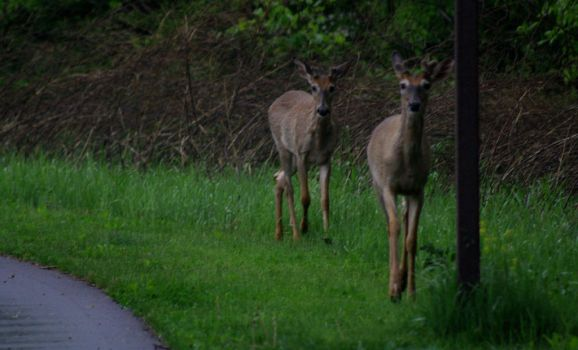 Two Deer in the Morning by Someonewhoexists