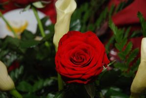 Red rose1 by s3xyyy