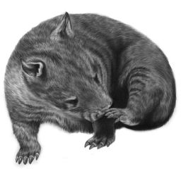 Wombat +Tutorial by PencilSessions
