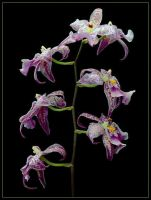 SEVEN ORCHIDS by THOM-B-FOTO