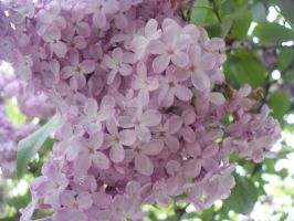Lilacs growing high up2 by blackroselover