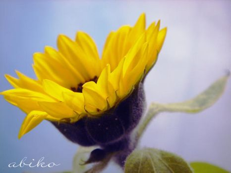 Sunflower by abiko