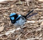Superb Fairywren by Okavanga