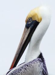 Compelling Pelican by Fail-Avenger