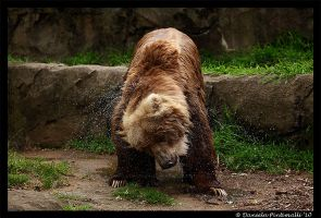Shaking Bear by TVD-Photography