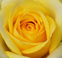 Closeup of yellow rose 1 by a6-k