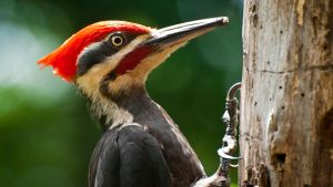 Pileated woodpecker Drumming by MichelLalonde