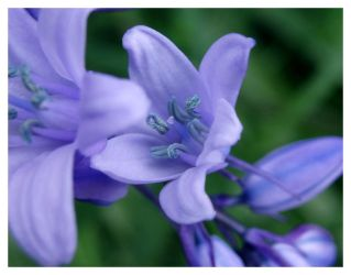 Bluebell by Plug1nbaby