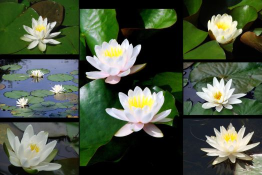 Montage Water Lilies I by TriciaStucenski