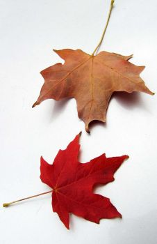 Maple Leaf I by archetype-stock