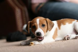 Puppy Stock 10 by Random-Acts-Stock
