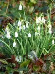 Snowdrops by Wimmeke63