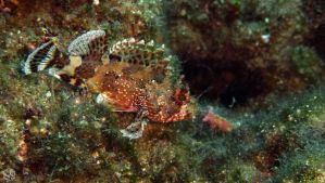 Scorpionfish by MAEDesign