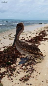 Pelican in Playa del Carmen by SmallHazelnut