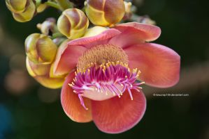 Cannonball Tree Flower by tawunap159