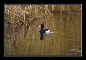 Tufted Duck by hellfire321