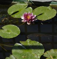 Lilly-pads. by quaddie