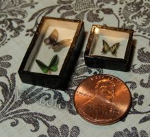 Birdwing and Swallowtail Mini Butterfly Displays by Kyle-Lefort