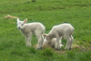 Sweet little wooly lambs 2 by steppelandstock