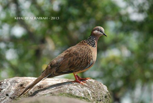 TURTLE DOVE by KHALID91