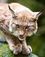 Lynx7 by PictureByPali