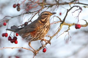 Gathering winter fuel - Redwing by Jamie-MacArthur