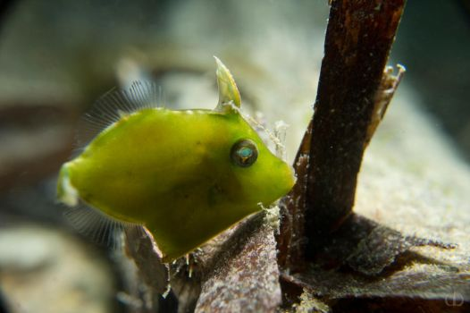Baby leatherjacket by Holophite