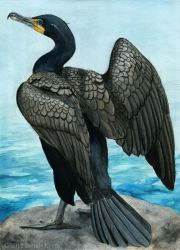 Double-Crested Cormorant by windfalcon
