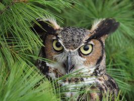 Great Horned Owl 5 by tennisturtle17