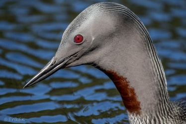 Red-throated loon  portrait by ErikEK