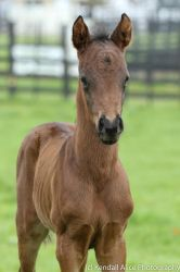 Thoroughbred foal stock by Valkyrie-Stock