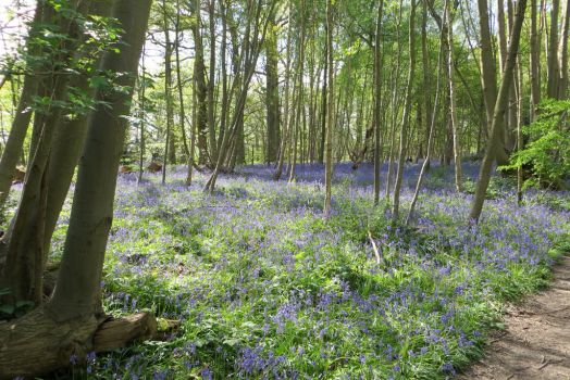 Bluebells by solariahues
